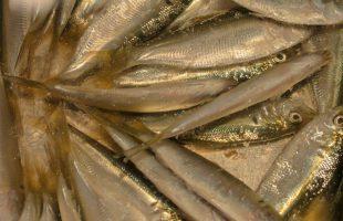 シンコ(コノシロの幼魚)